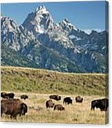 Herd Of American Bison Canvas Print