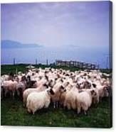 Herding Sheep, Inishtooskert, Blasket Canvas Print