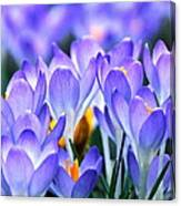 Here Come The Croci Canvas Print