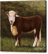 Hereford Heifer Canvas Print
