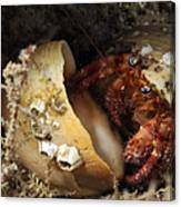 Hermit Crab Tucked Away Canvas Print