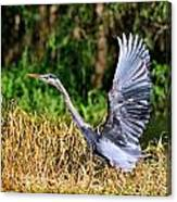 Heron Taking To Flight Canvas Print