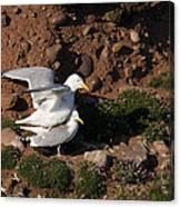 Herring Gulls Mating Canvas Print