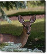 Hi Deer Canvas Print