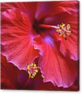 Hibiscus Duo Canvas Print