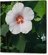Hibiscus In Panama Canvas Print