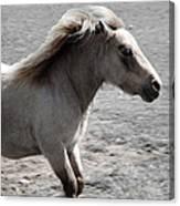 High Spirited Pony Canvas Print