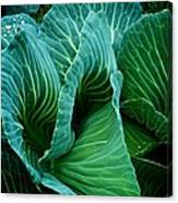 High Summer Cabbage Canvas Print