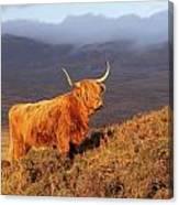 Highland Cattle Landscape Canvas Print