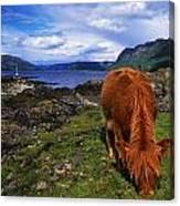 Highland Cattle, Scotland Canvas Print