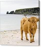 Highland Cow On A Beach Canvas Print