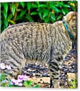 Highland Lynx Cat In Garden Canvas Print