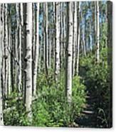 Hiking Through Aspens At Beaver Creek Canvas Print