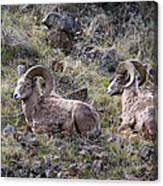 Hillside Rams Canvas Print