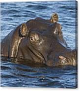 Hippopotamus Hippopotamus Amphibius Canvas Print