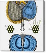 Historical Illustration Of Honey Bee Eye Canvas Print