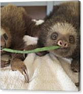 Hoffmanns Two-toed Sloth Orphans Eating Canvas Print