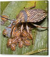 Homopteran Insect Canvas Print