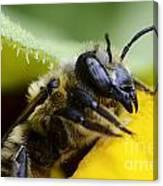 Honey Bee 2 Canvas Print