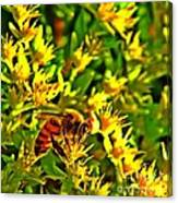 Honey Bee And Sedum  Canvas Print