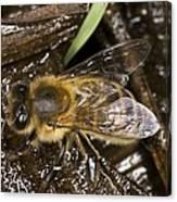 Honey Bee (apis Mellifera) Canvas Print