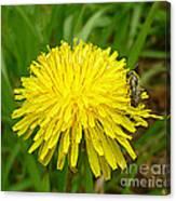 Honey Bee Full Of Pollen Canvas Print