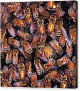 Honey Honey Canvas Print