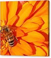 Honeybee On An Orange Zinnia Canvas Print