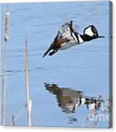 Hooded Merganser Flying Canvas Print