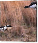 Hooded Merganser Gaining Altitude Canvas Print