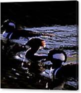 Hooded Mergansers And Moon Glare Canvas Print