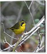 Hooded Warbler Canvas Print