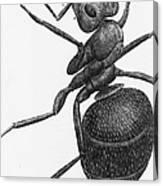 Hooke: Ant, 1665 Canvas Print