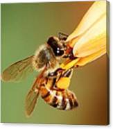 Hooked Bee Canvas Print