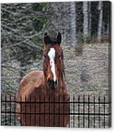 Horse Behind The Fence Canvas Print