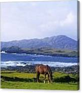 Horse Grazing In A Field, Beara Canvas Print