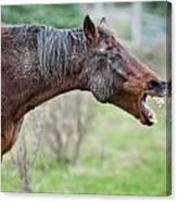 Horse Laugh Canvas Print