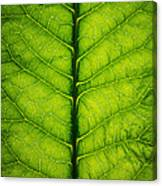 Horseradish Leaf Canvas Print