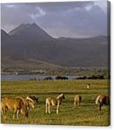 Horses Grazing, Macgillycuddys Reeks Canvas Print