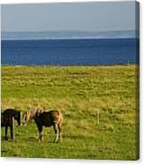 Horses In A Field, Guernsey Cove Canvas Print