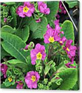 'hose-in-hose' Primroses Canvas Print