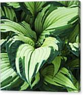 Hosta Albo-picta Foliage Canvas Print