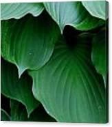 Hosta Green Canvas Print