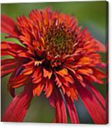 Hot Papaya Hybrid Coneflower Canvas Print