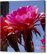 Hot Pink Cactus Flowers Canvas Print