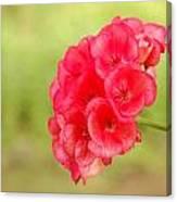Hot Pink Geranium Canvas Print