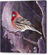 House Finch Looking At Me Canvas Print