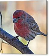 Housefinch IIi Canvas Print