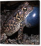 Houston Toad Canvas Print