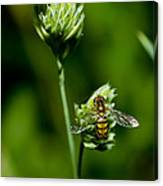 Hoverfly On Grass Canvas Print